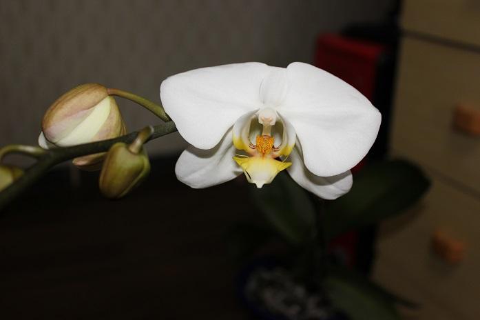 2014.8胡蝶蘭3