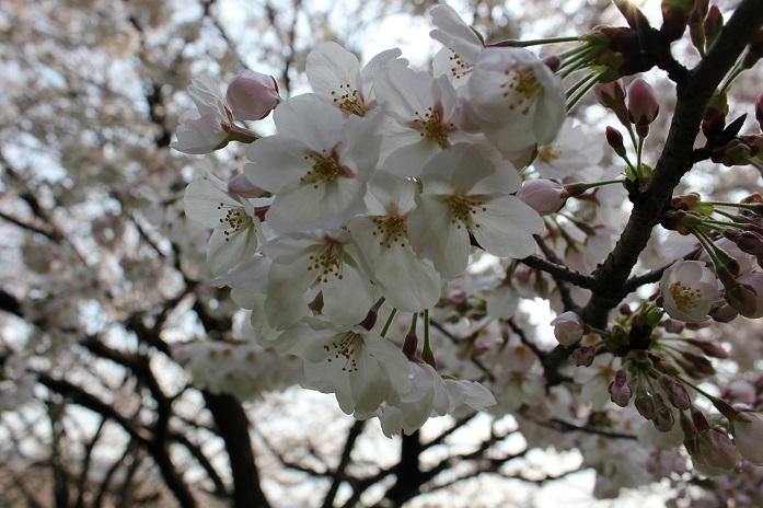 2014桜11