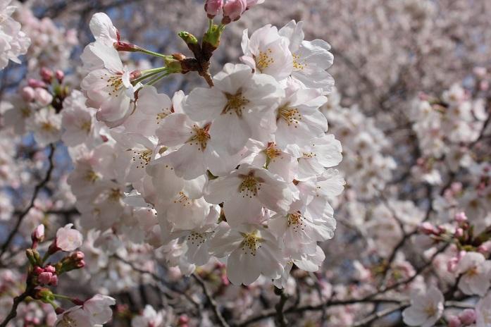 2014桜6