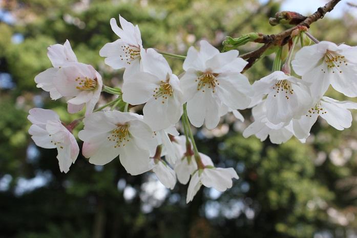 2014桜12