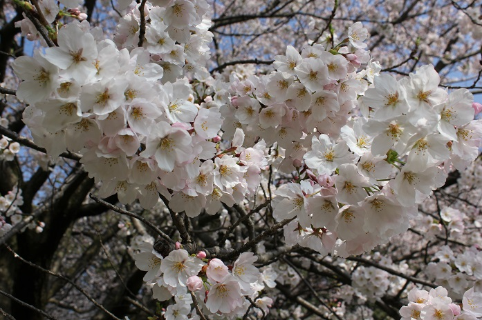 2014桜8