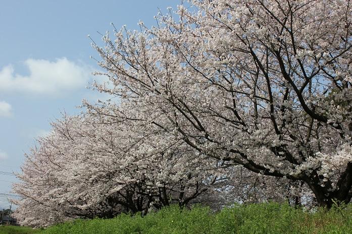 2014桜18