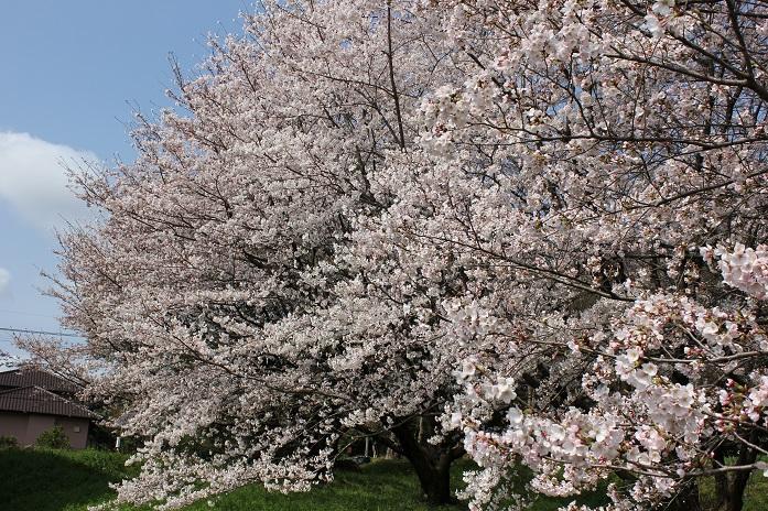 2014桜16