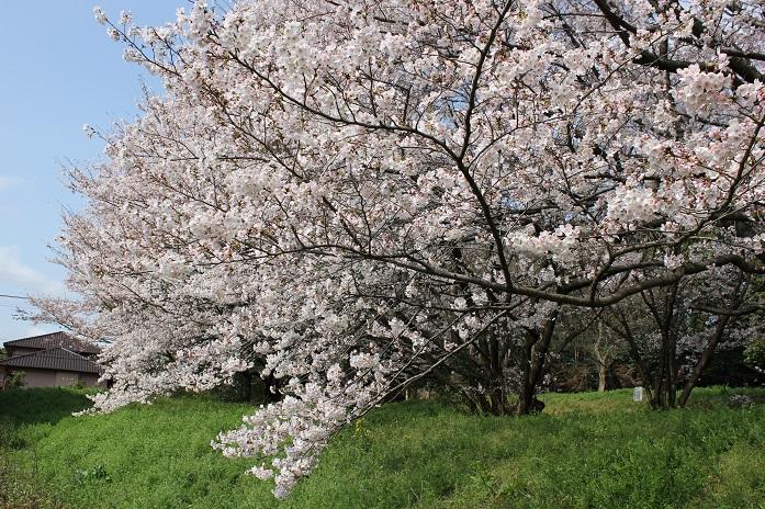 2014桜15