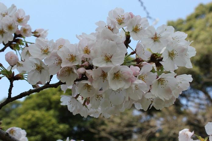 2014桜14