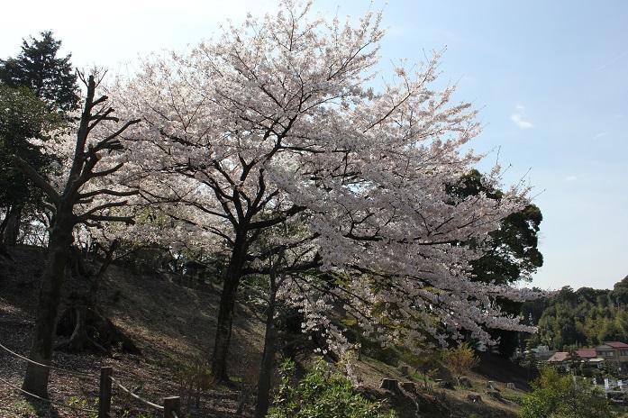 2014桜24