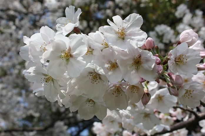 2014桜20