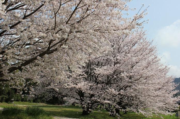 2014桜19