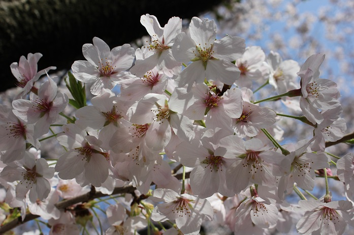 2014桜26