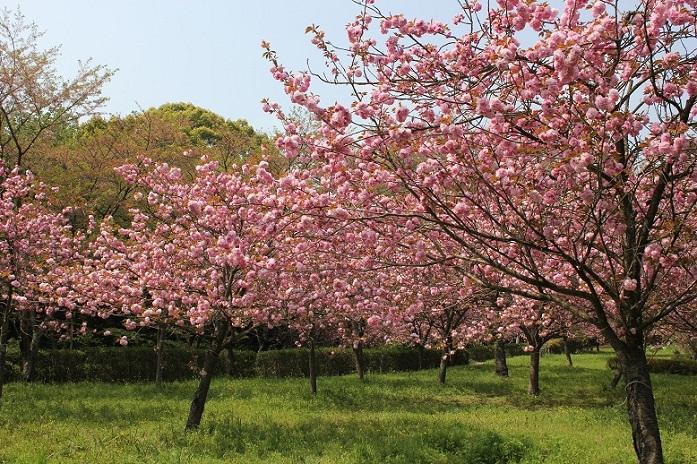 八重桜11