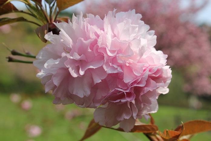 八重桜10