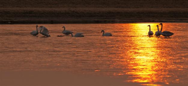 日の出と白鳥のいる風景