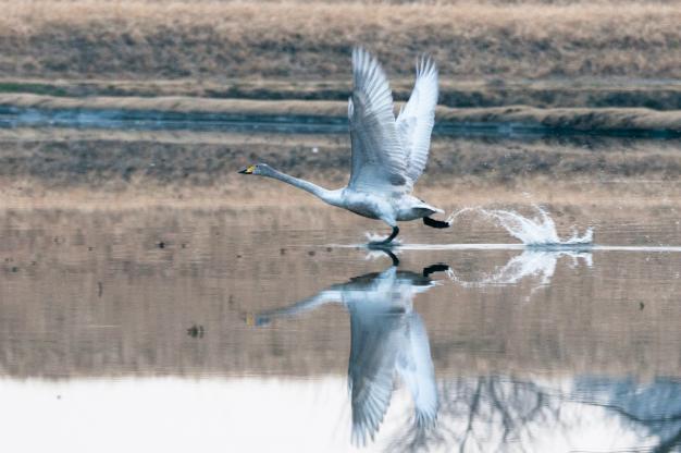 白鳥(幼鳥)