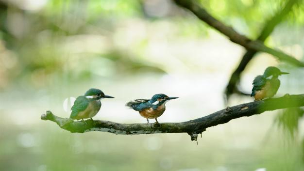 翡翠 幼鳥