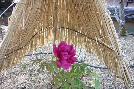 ぼたんの花が