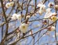 P1030573梅の花ブログ用