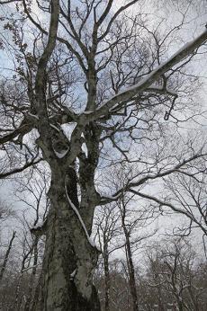 吉和冠 ブナの大木
