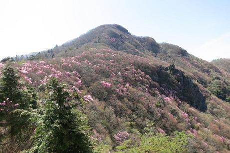 西赤石山北斜面のアケボノツツジ