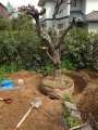 福岡 植木の移植