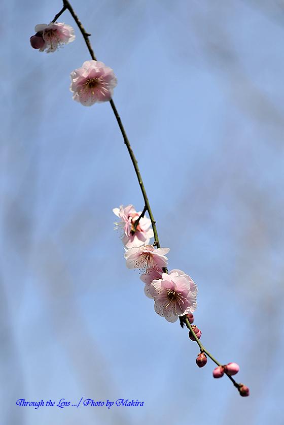 藤牡丹枝垂れ1