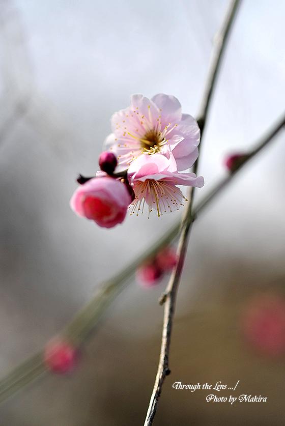 藤牡丹枝垂れ5