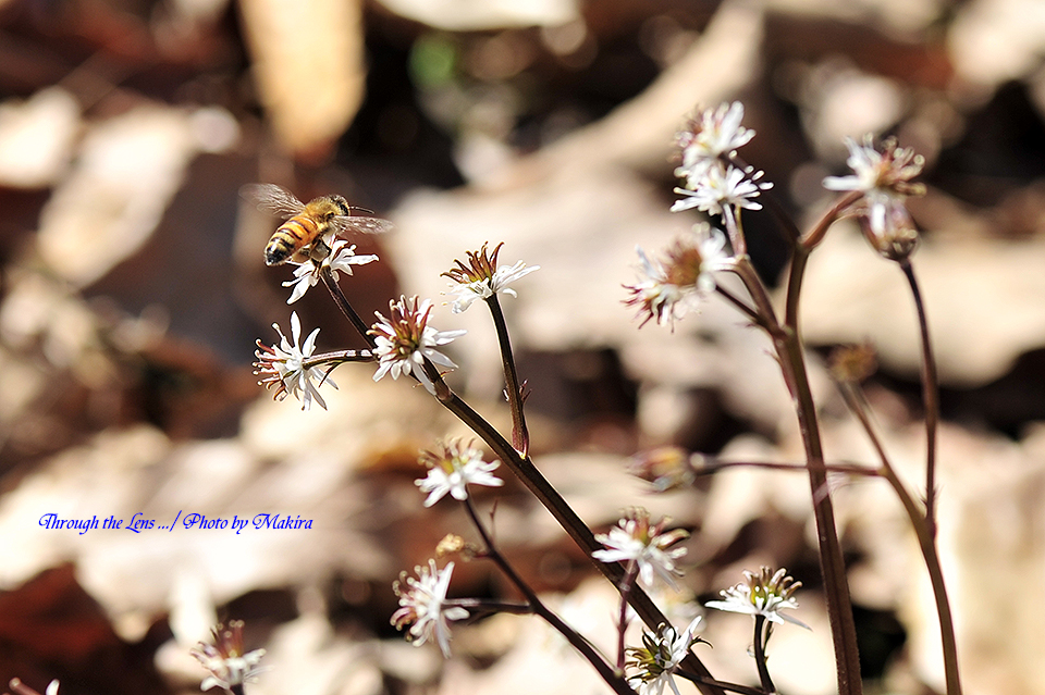 セリバオウレンと蜜蜂1