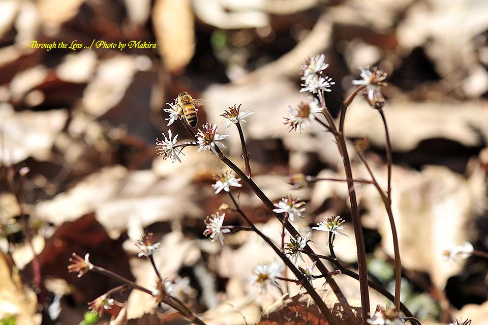 セリバオウレンと蜜蜂2