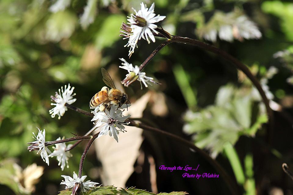セリバオウレンと蜜蜂5