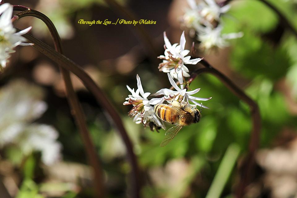 セリバオウレンと蜜蜂6