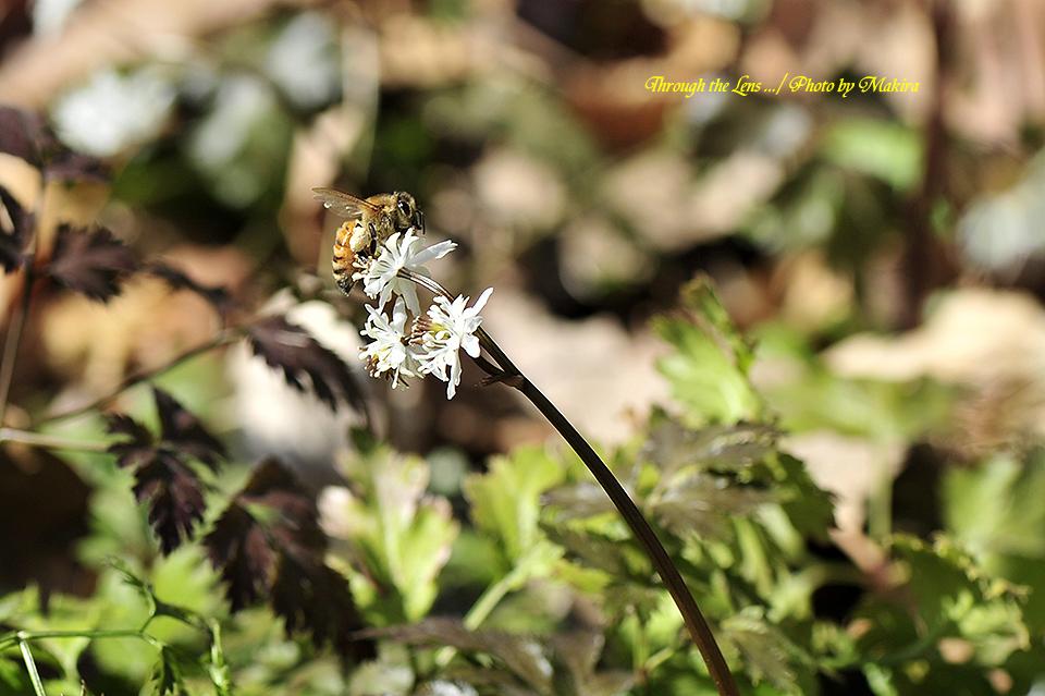 セリバオウレンと蜜蜂8