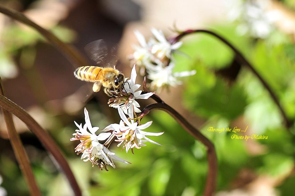 セリバオウレンと蜜蜂7