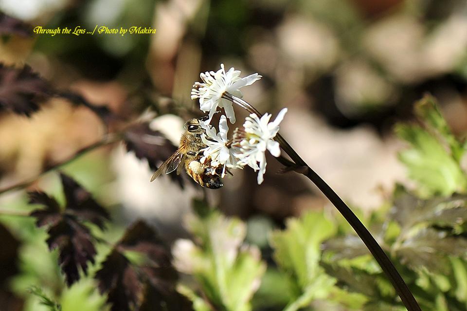セリバオウレンと蜜蜂9