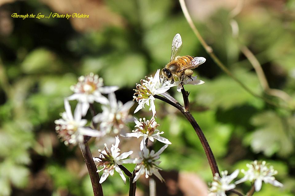 セリバオウレンと蜜蜂10