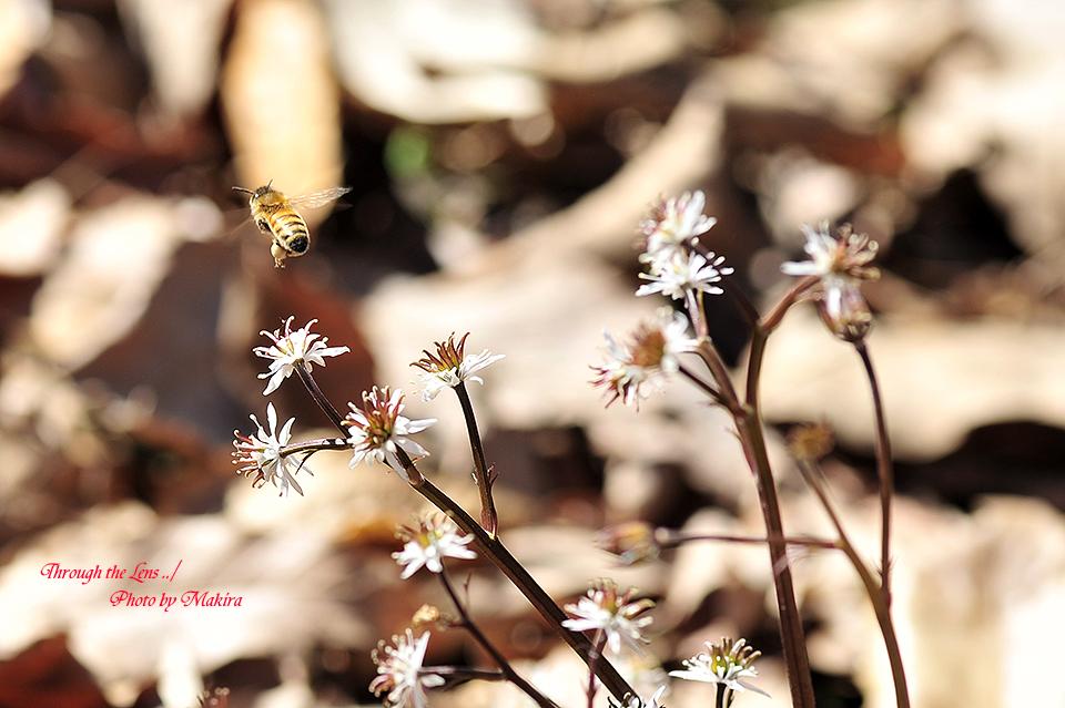 セリバオウレンと蜜蜂11