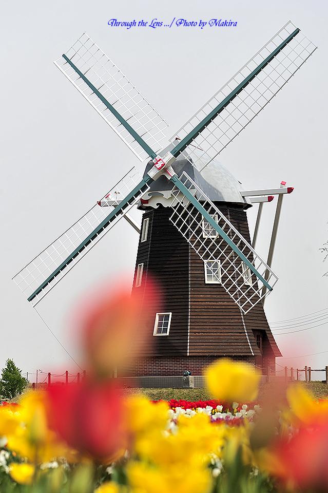 チューリップと風車3