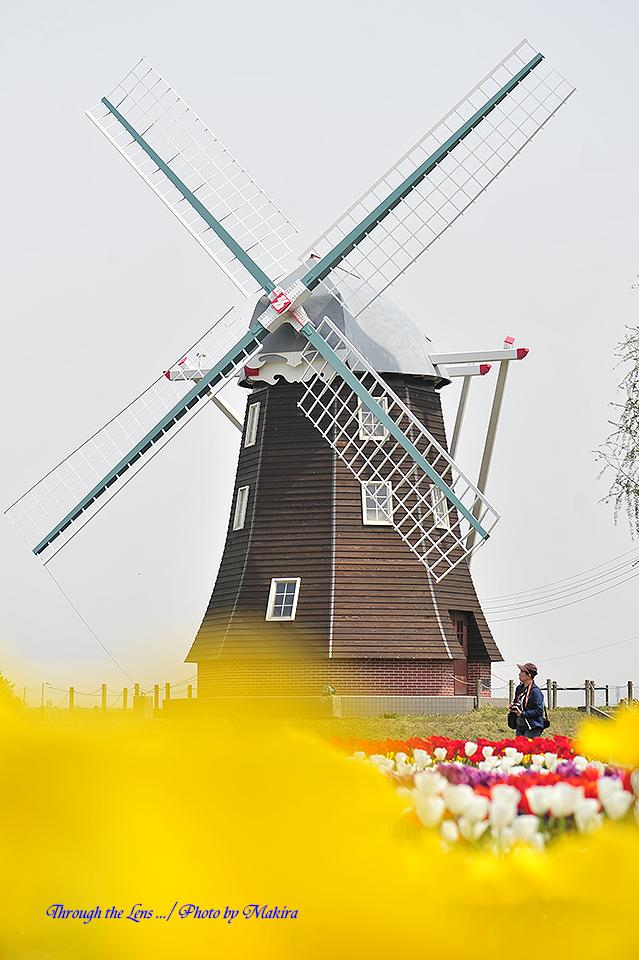 チューリップと風車2