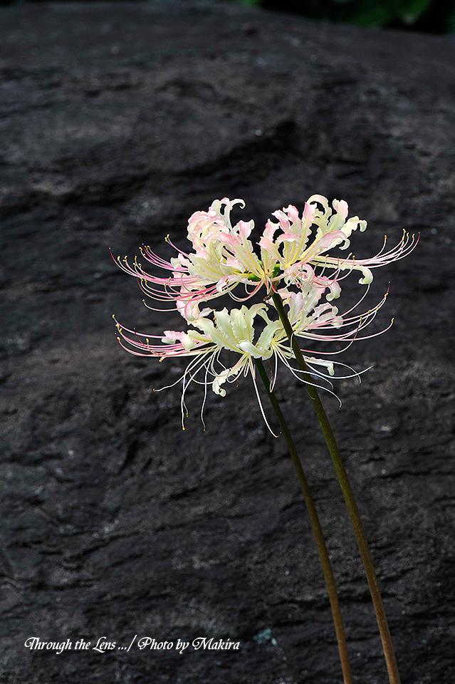 白花ヒガンバナ2