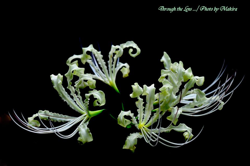 白花ヒガンバナ4