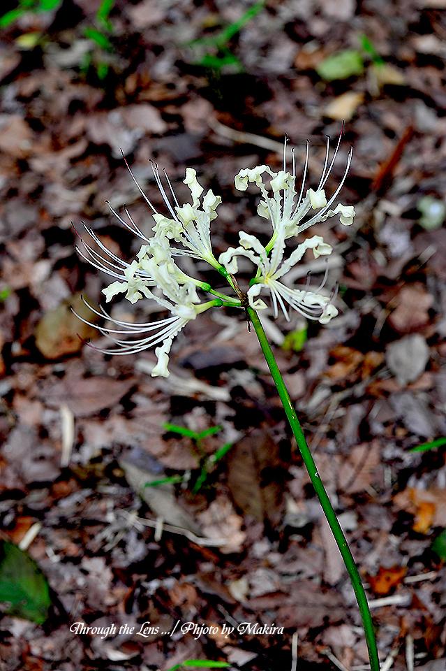 白花ヒガンバナ5