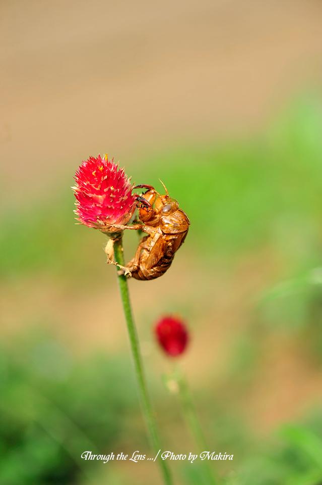 センニチコウと蝉の抜け殻