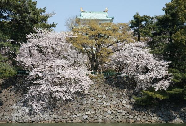 名古屋城桜5
