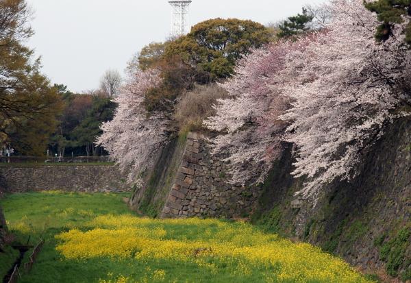 名古屋城桜6