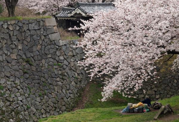 名古屋城桜8
