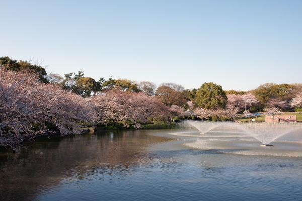 名古屋城桜11 (2)