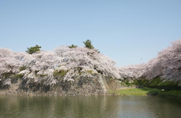 名古屋城桜0