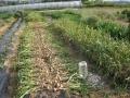 H26.5.23ニンニク収穫開始①@IMG_1791
