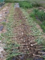 H26.5.27ニンニク収穫②@IMG_1814