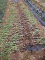 H26.5.27ニンニク収穫②@IMG_1819