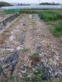 H26.5.30ニンニク収穫②@IMG_1852