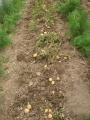 H26.6.18ジャガイモ(北あかり)収穫①@IMG_2126